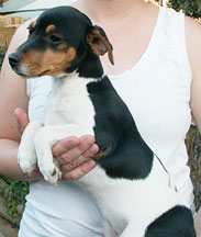 Jack Russell female puppy