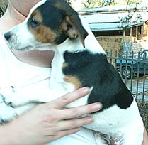girl Jack Russell puppy