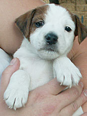 Jack Russell boy puppy